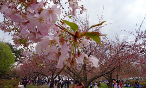 Körsbärsblommorna hade slagit ut lagom till festivalen i Brooklyns botaniska trädgårdar.