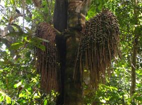ungurahuraträdet är en palmväxt med många mytiska betydelser hos urbefolkningen