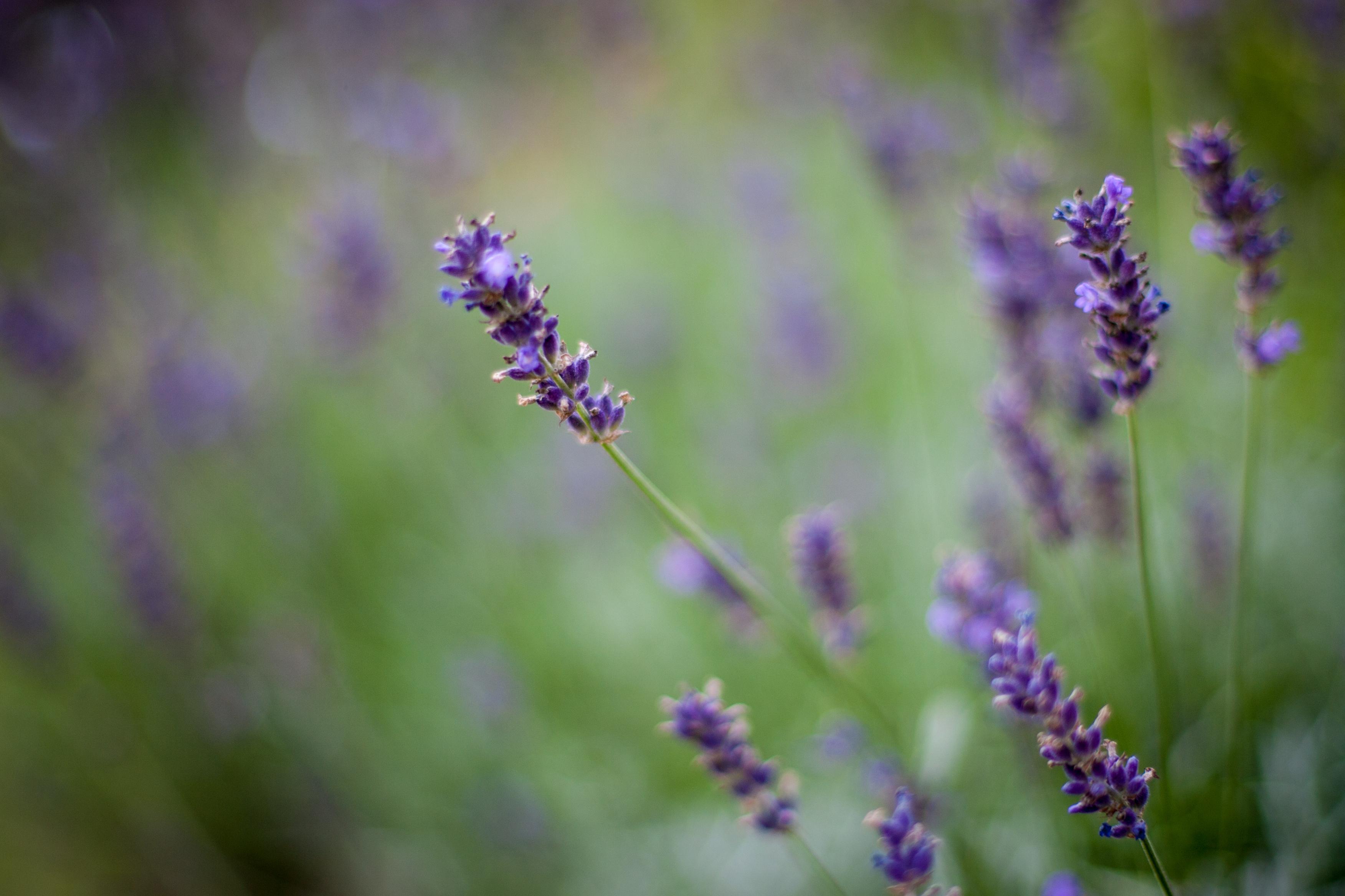Använd lavendelfröolja med försiktighet eftersom den kan ge allergier. Foto: Agneta Elmegård