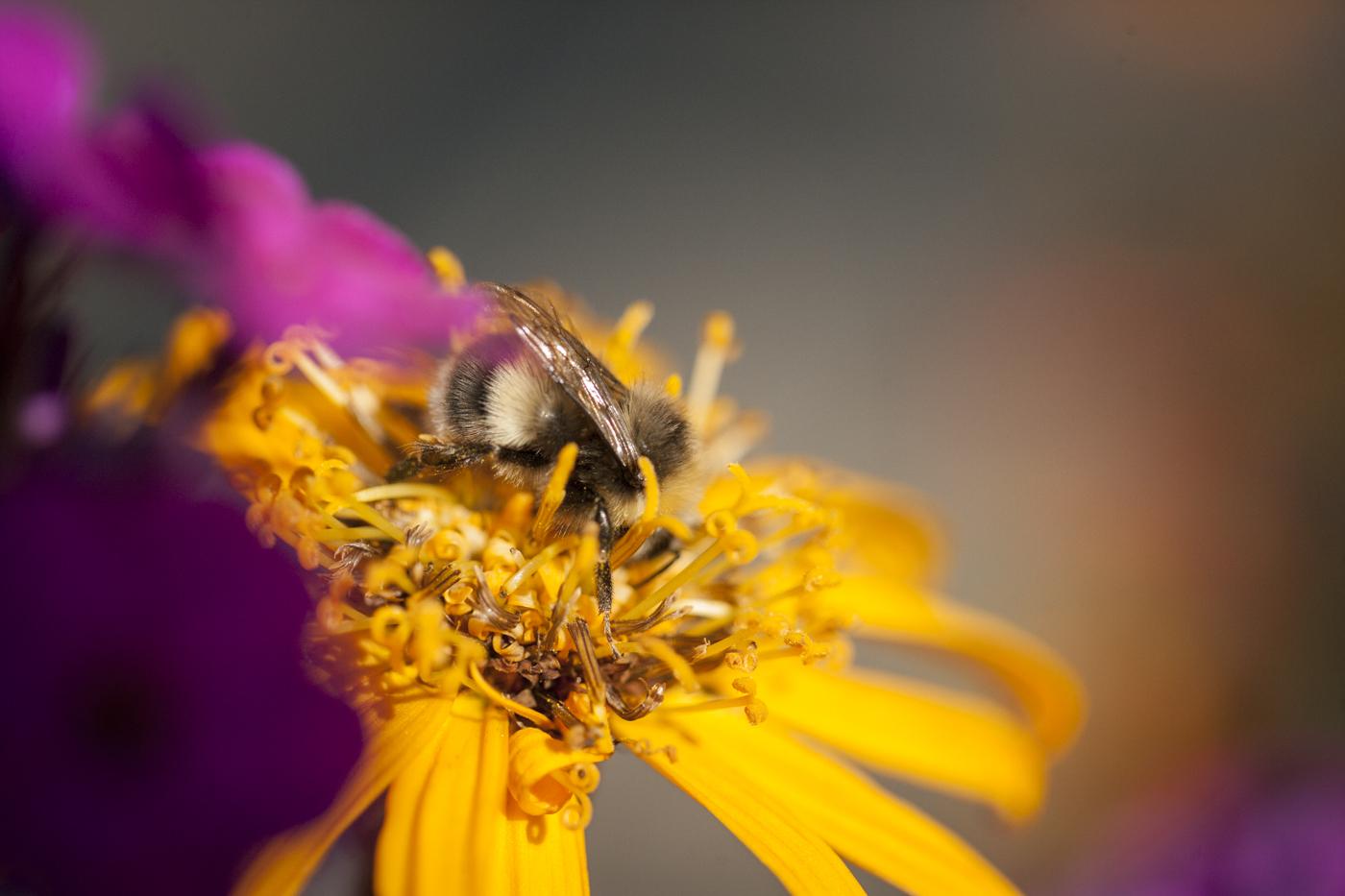Humlor och bin är viktiga för mångfalden. Köper du produkter med honung i bidrar du automatiskt till att stödja binäringen i hela världen.