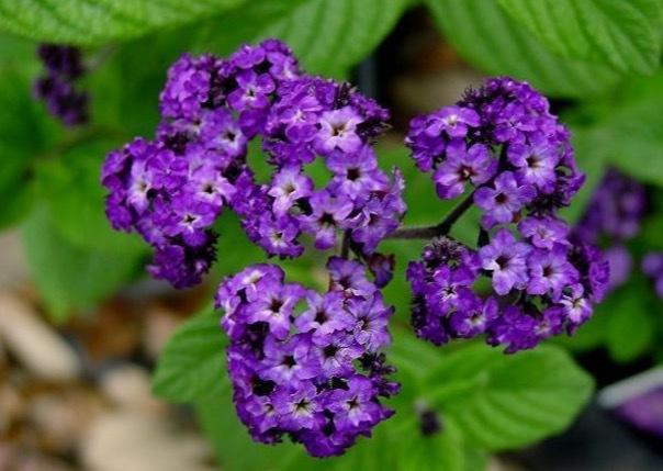 Planera en heliotrop i din trädgård och bina kommer att älska dig!