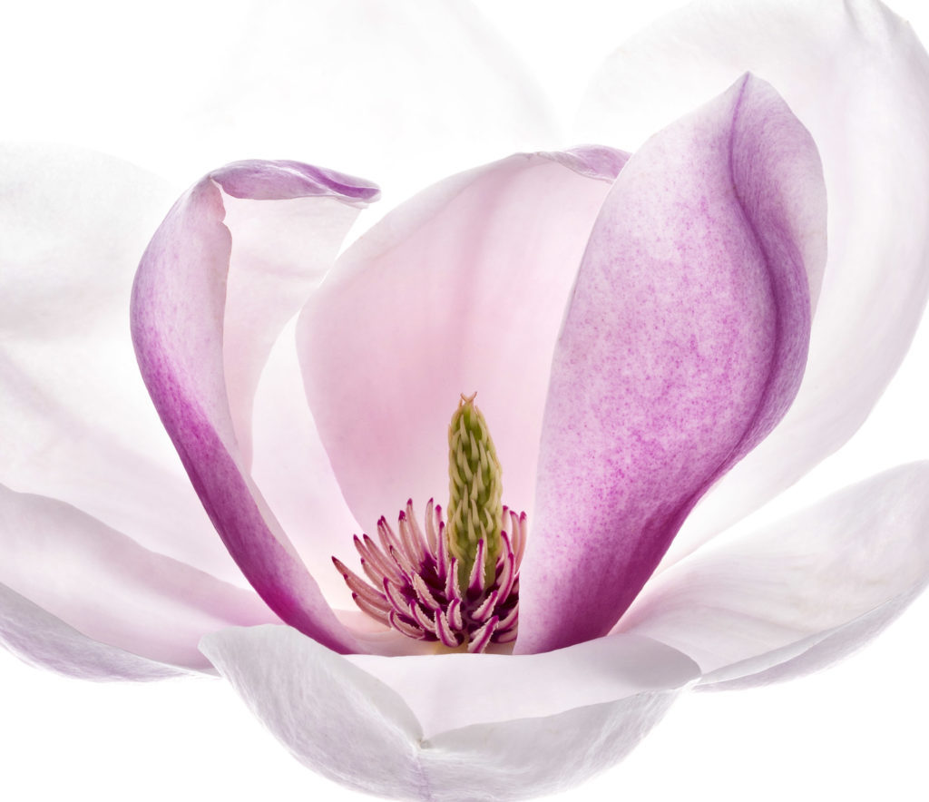 1510_Single_French_Flower_Magnolia-1024x884