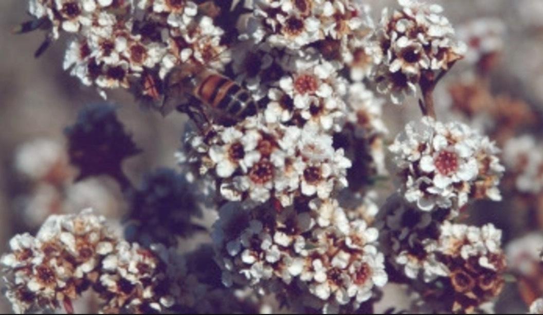 Örten Fragonia växter i torra miljöer i bland annat Australien. Doften påminner om citron och eukalyptus och är en vanlig ingrediens i herrparfymer