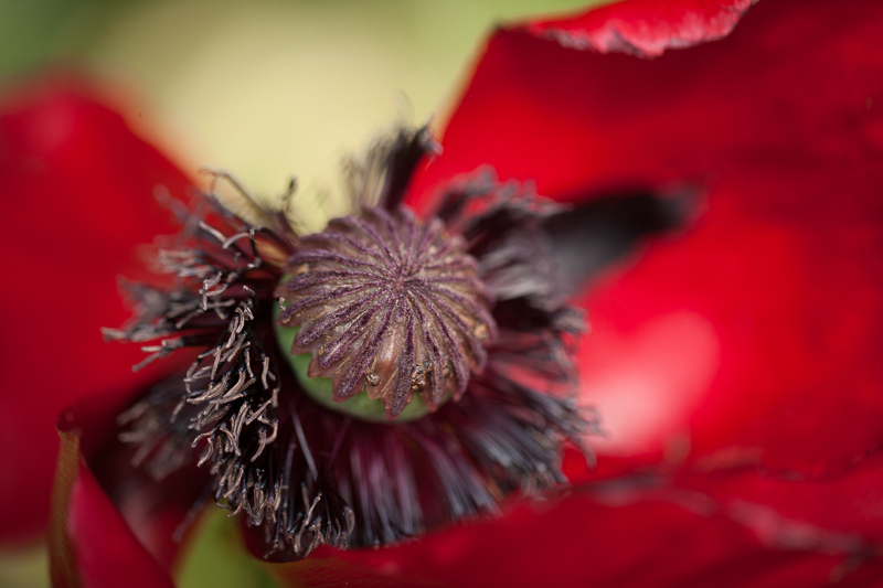 Jättevallmo tillsammans med magnolia, lavendel och iris är bara några av växterna som  finns i krämerna