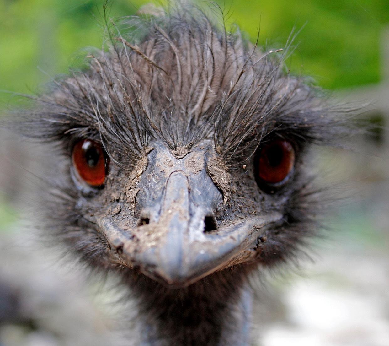 Det här är en levande emu Dromaius novaehollandiae). De finns bara i Australien men är släkt med den afrikanska strutsen.
