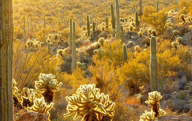Sonoran är ett unikt ökenområde som ligger nära Tucson i Arizonona. Bild: Wildnatureimages
