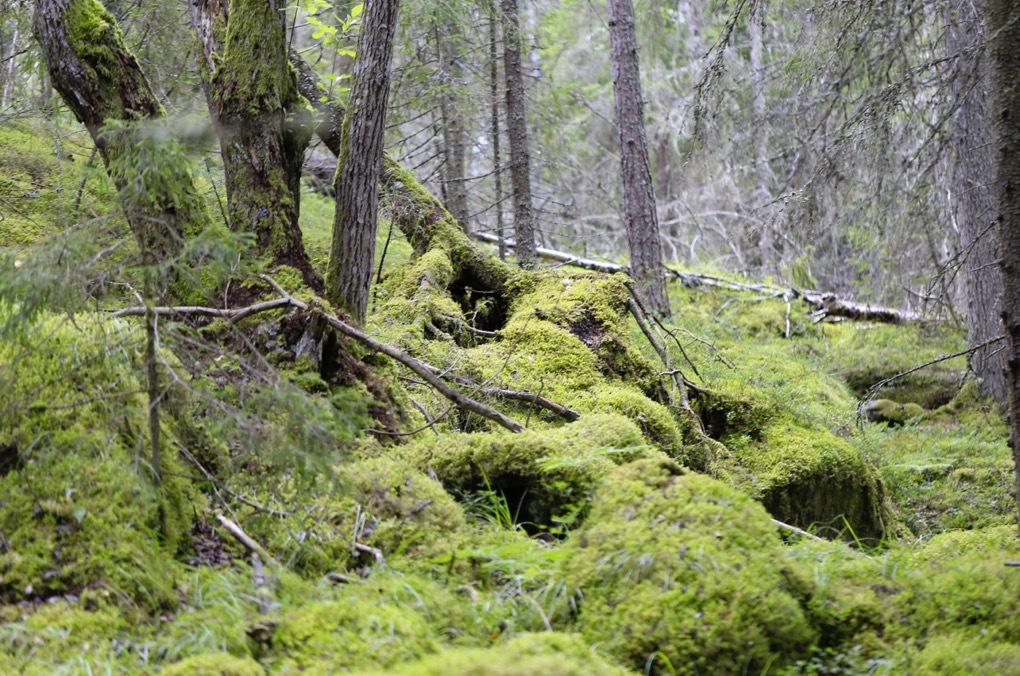 Mossa finns det gott om i de svenska skogarna!