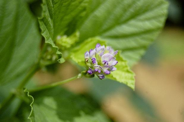 Bakushiol är en gammal ayurvedisk läkeväxt som helt plötsligt fått nytt utrymme. Den här gången i hudvårdsprodukter