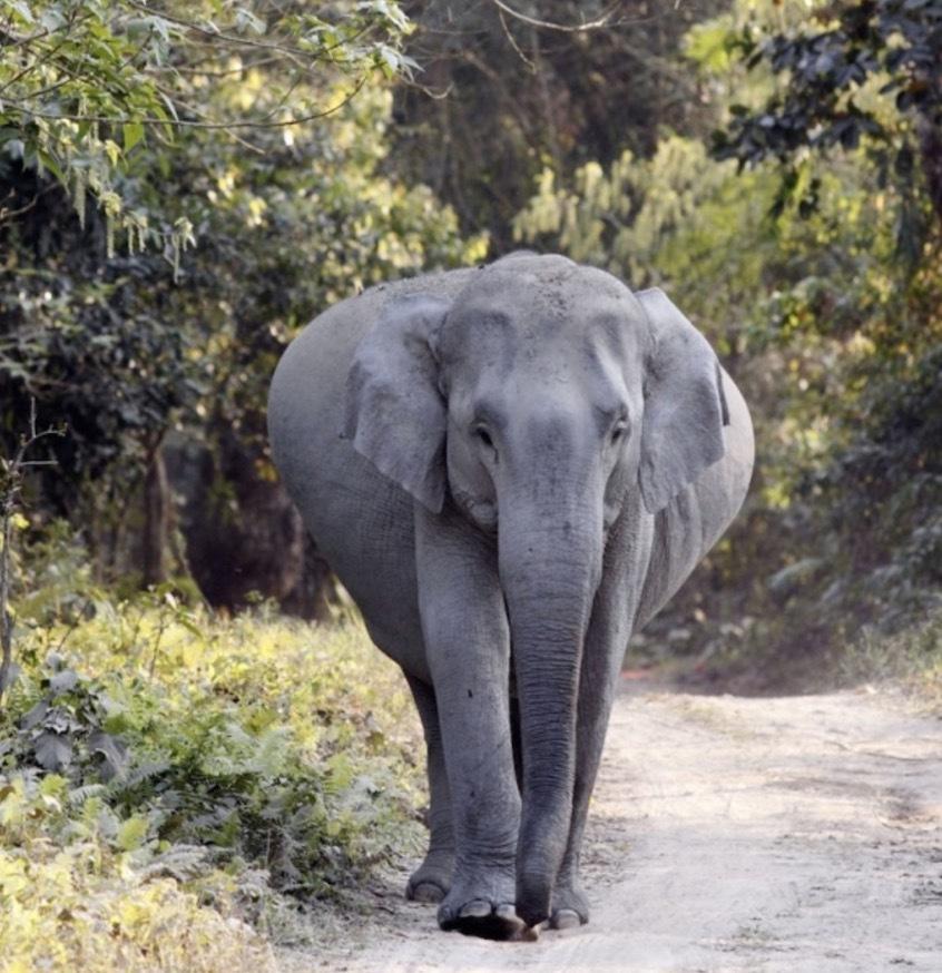 gravid elefant