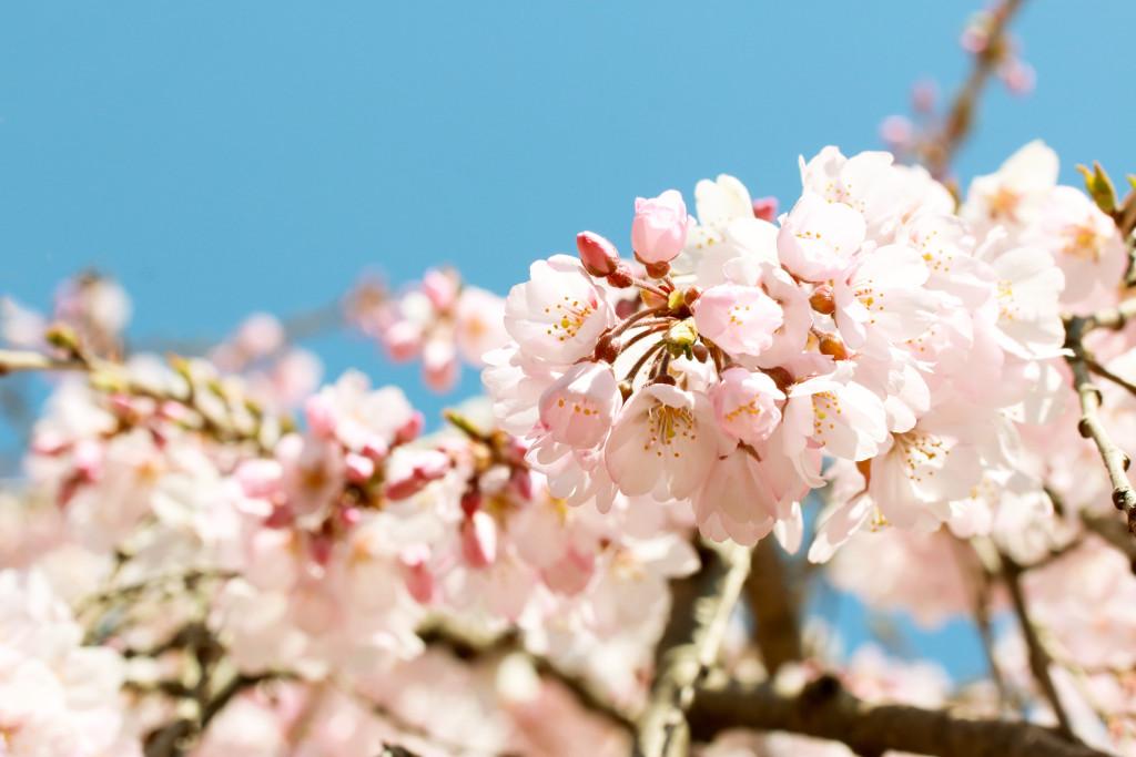 Körsbärsträd, körsbärsblommor, Cherry tree