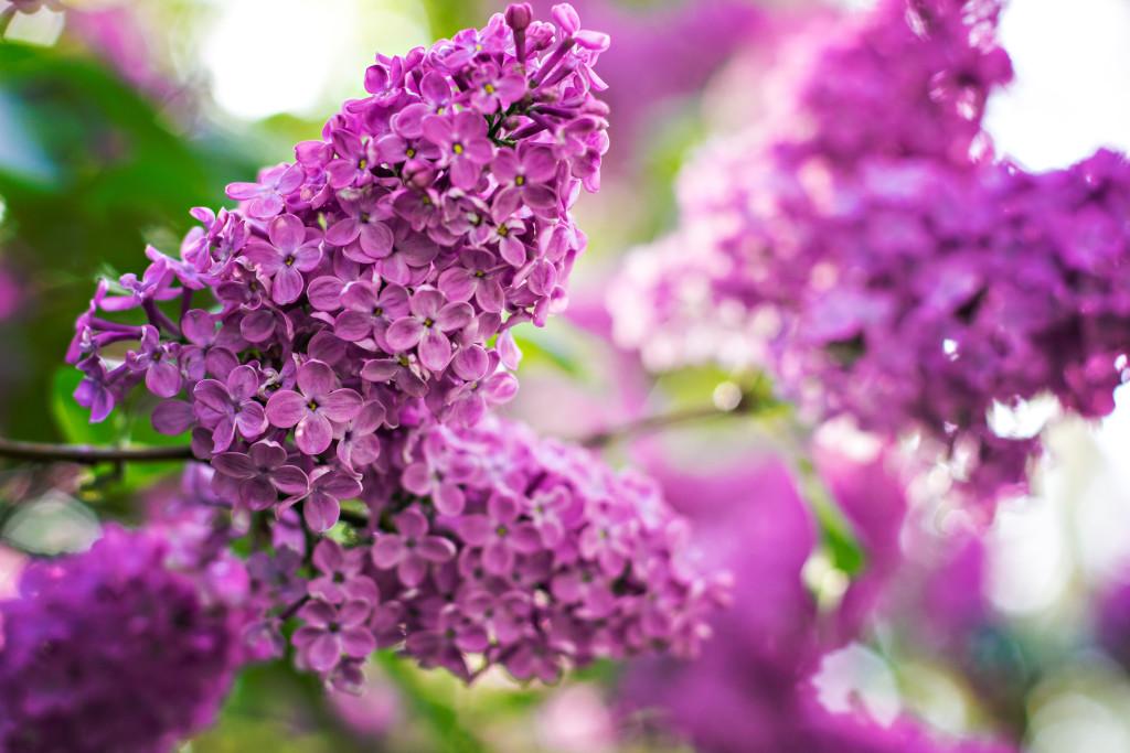 Syren, lilac flower, buske