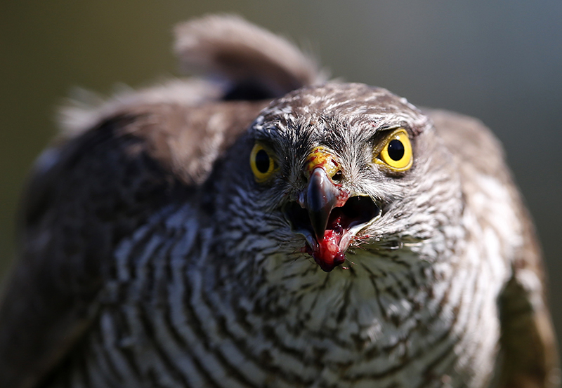 ap foto : darko vojinovic : in this photo taken thursday, april 23, 2015, a sparrow hawk looks up after catching a pigeon on a falcon farm, near the northern serbian town of coka. most of the birds end up in the emirates which has a long tradition of falconry. the sport involves trained birds that typically circle above the falconers and take high-speed dives at flushed prey such as grouse. (ap photo/darko vojinovic) photo taken thursday, april 23, 201 serbia breeding falcons photo galler automatarkiverad