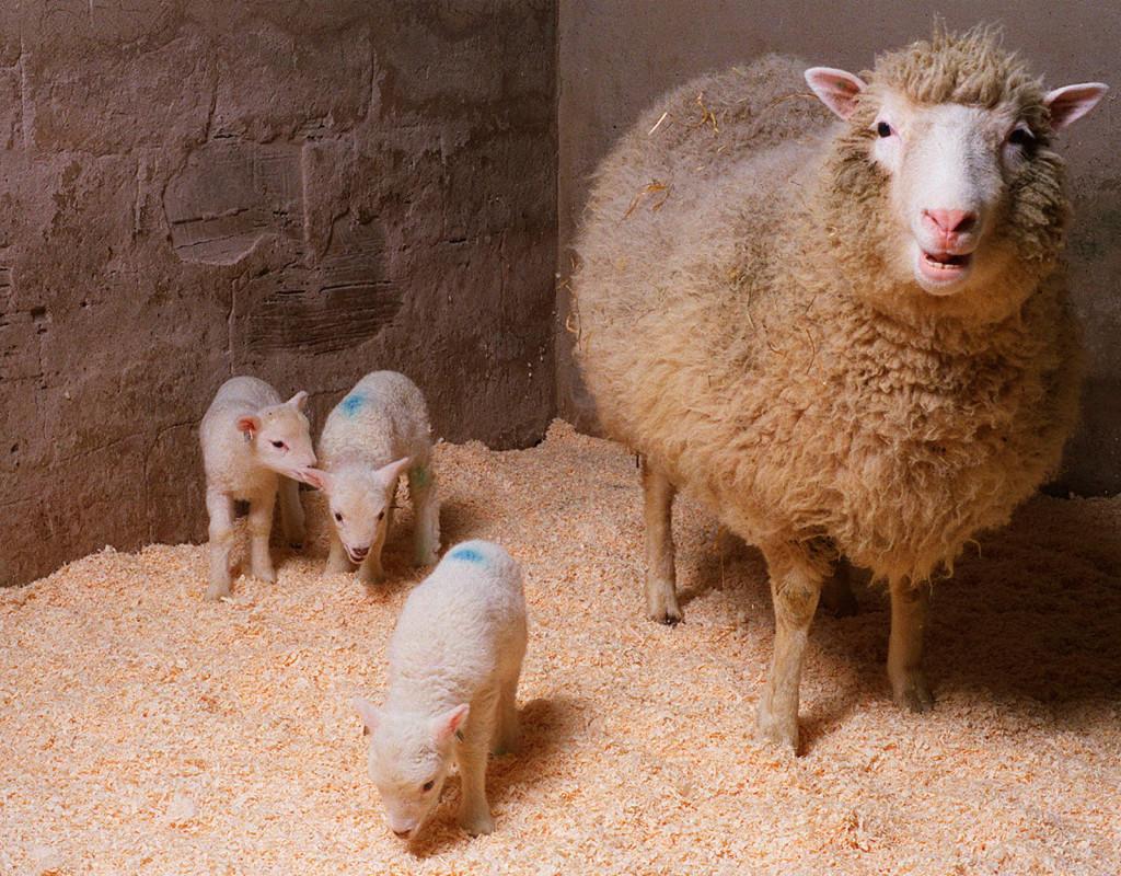 Fåret Dolly, det första klonade djuret, 1996.
