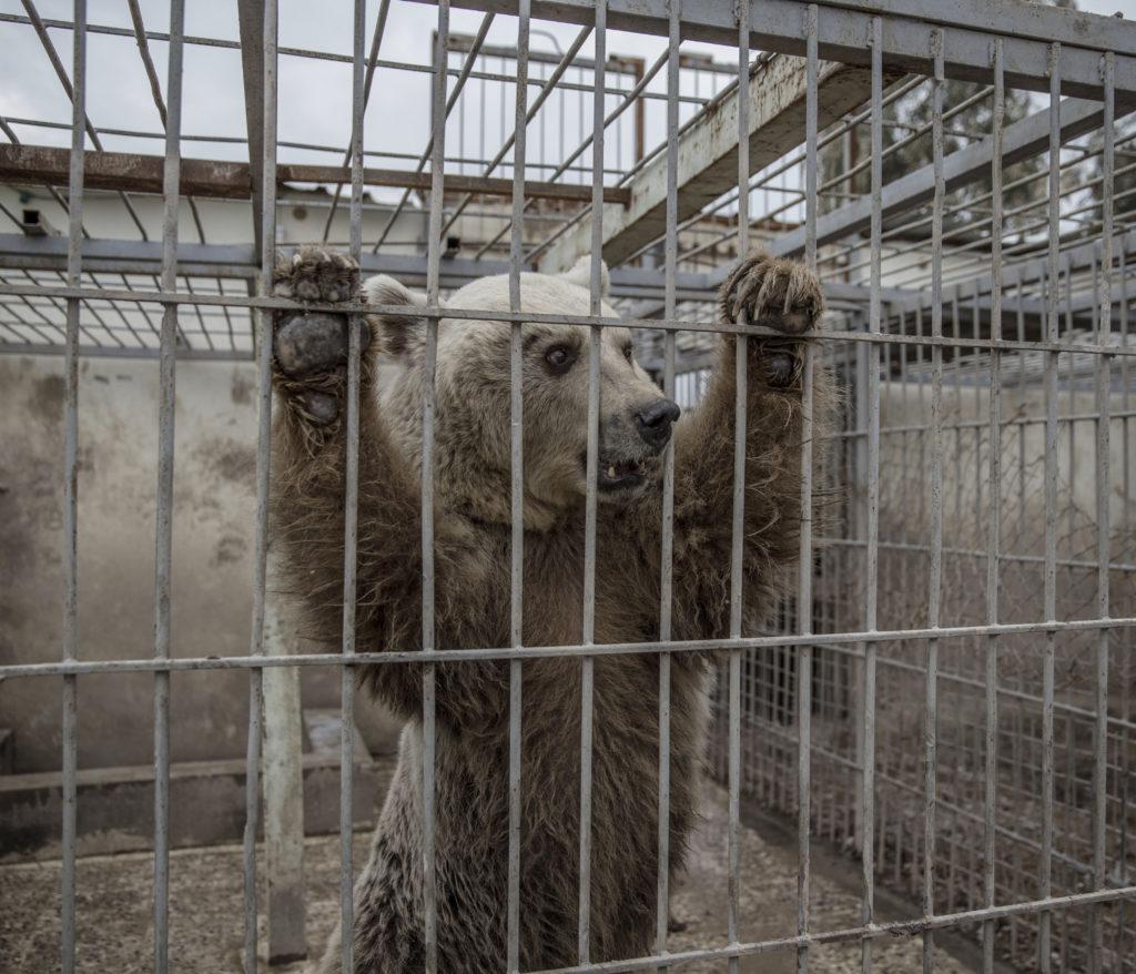 inbördeskriget i irak. irakiska och kurdiska trupper, persmerga, har inlett operationen att återta iraks näst största stad mosul från is. östra mosul. på muntazr al noor zoo har alla djur dött eller transporterats bort utom en björn och lejonet simba.